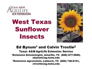 Sunflower Update - Texas A&M University,